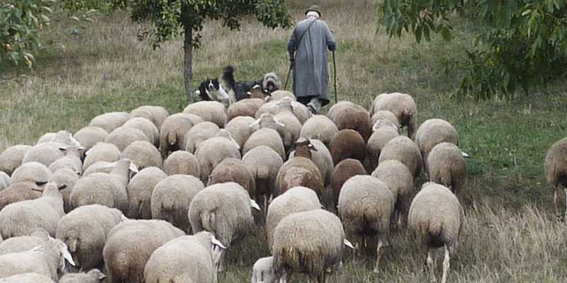 Shepherd Sheep Christian Life